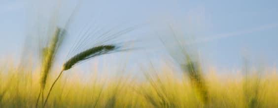 Qi Gong des saisons: Grain en épi 芒種