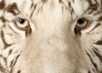 Yang Sheng Tigre Blanc