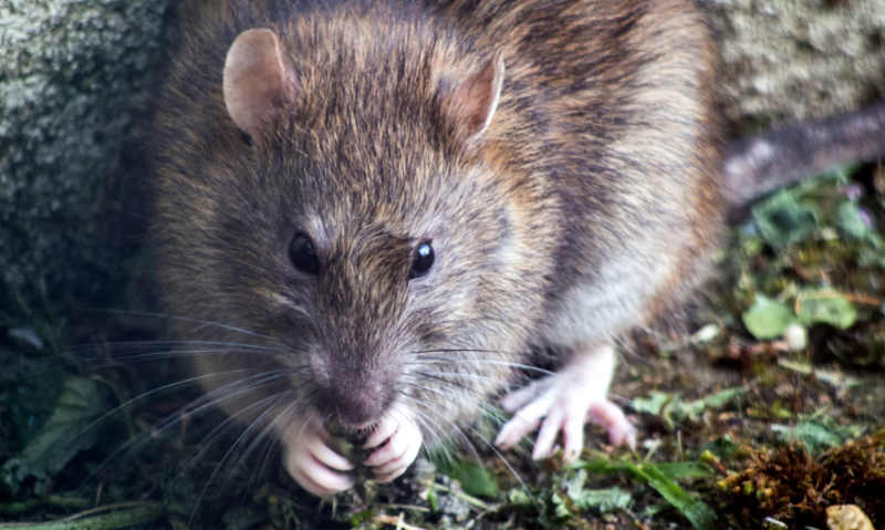 Symbole du Rat dans la tradition chinoise