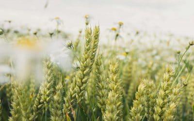 Qi Gong des saisons: les céréales grandissent 小满